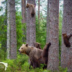 Karhut puussa Leena Aijasaho