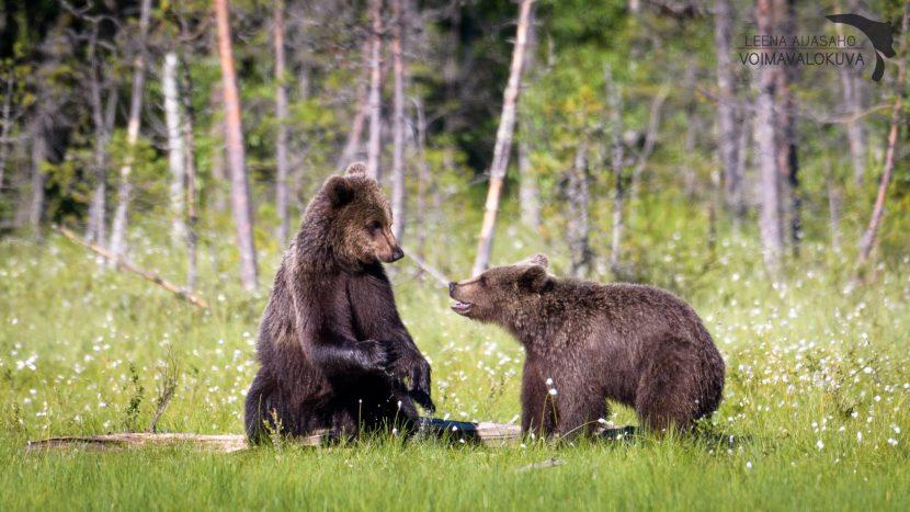 Karhut valokuvaaja Leena Aijasaho